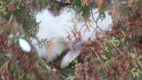 在金钟柏的分支的猫寻找一只鸟 影视素材