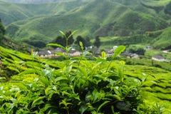在金马仑高原,马来西亚的茶厂特写镜头 免版税图库摄影