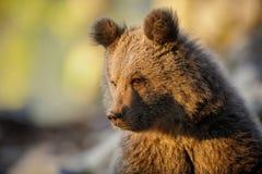在金黄光沐浴的棕熊崽 库存图片