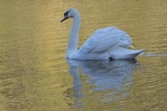 在金黄光的白色天鹅在南安普敦共同性 库存图片