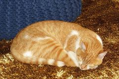 在金黄地毯的睡觉猫 库存图片