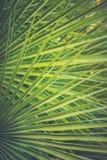 在金黄太阳火光的大圆的尖刻的棕榈树叶子 深绿颜色 时髦行家样式表面无光泽的被定调子的作用 热带假期 免版税库存图片