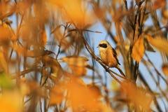 在金黄秋叶中的欧亚penduline山雀 免版税库存照片