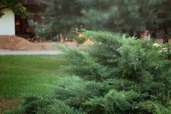 在金黄聚焦和bokeh的绿色圣诞树分支 免版税库存照片