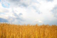 在金黄领域的多云天空 免版税库存照片