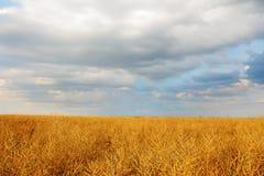 在金黄领域的多云天空 库存图片