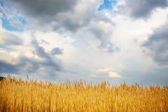 在金黄领域的多云天空 库存照片