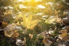 在金黄黄昏光的秋叶 库存图片