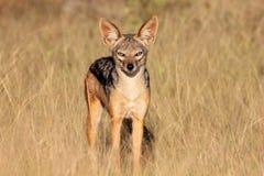 在金黄光的狐狼 免版税库存图片