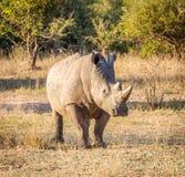 在金黄光的白色犀牛 库存图片