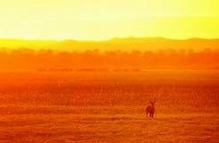 在金黄光的羚羊在国家公园利翁代 马拉维 免版税库存图片