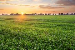 在金黄光的年轻麦田风景 免版税库存照片