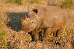 在金黄光,克留格尔国家公园,南非的白犀牛 免版税库存图片