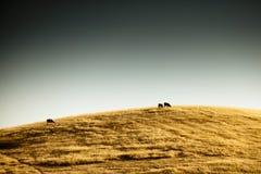 在金黄小山的牧群 免版税库存照片