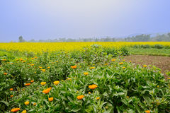 在金黄强奸领域的开花的雏菊在有雾的晴朗的春日 免版税库存照片