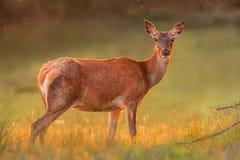 在金黄日落光的红色母鹿 库存图片