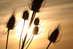 在日落背景的蓟 免版税库存图片