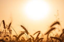 在金黄日落的麦田庄稼 免版税库存图片