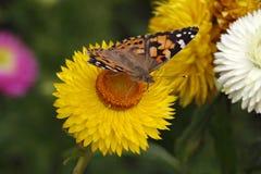 在金黄永恒的被绘的夫人蝴蝶 库存图片