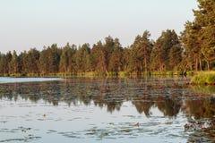 在金黄猩红色期间的杉树反射 免版税库存图片