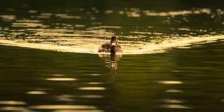 在金黄水的母野鸭鸭子 库存照片
