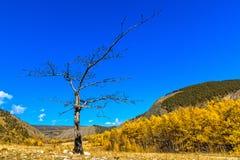 在金黄秋天森林中间的老被烧焦的木头 库存照片