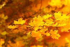 在金黄秋天背景的秋季槭树分支 免版税图库摄影