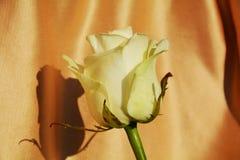 在金黄背景的被隔绝的白色玫瑰 库存图片