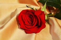 在金黄背景的被隔绝的红色玫瑰 免版税图库摄影