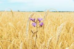 在金黄领域的花与庄稼 免版税库存照片