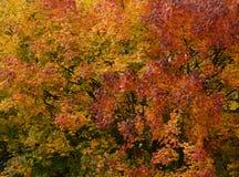 在金黄颜色的五颜六色的秋天树枝 免版税库存图片