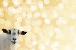 在金黄bokeh背景的山羊头 库存照片