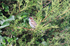 在针叶树的共同的麻雀 免版税图库摄影