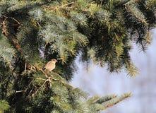 在针叶树的母麻雀 免版税库存照片