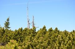 在针树后的死的树 免版税库存照片