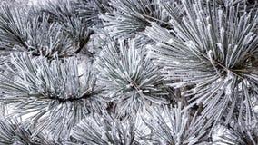 在针的树冰 免版税图库摄影