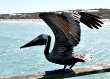 在钓鱼码头的鹈鹕 免版税库存图片