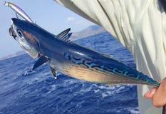 在钓鱼竿的红色金枪鱼 库存图片