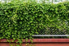 在钢栅格篱芭的绿色常春藤 免版税图库摄影