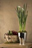 在钢桶的黄水仙由柳条筐的一棵植物 免版税库存照片