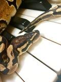 在钢琴的逗人喜爱的宠物蛇 图库摄影