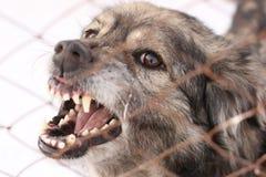 在钢笼子的恼怒的咆哮狗 免版税库存图片