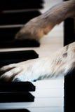 在钢琴的狗爪子 免版税库存照片