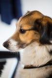 在钢琴的狗 图库摄影