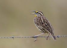 在铁丝网栖息的东Meadowlark -佛罗里达 免版税库存照片
