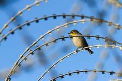 在铁丝网的小蜡眼睛鸟 免版税库存图片