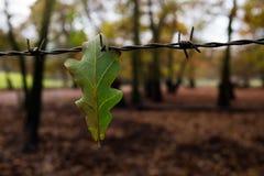 在铁丝网的橡木叶子 库存照片