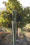 在铁丝网的葡萄树 免版税库存图片