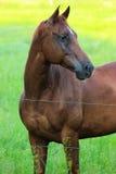在铁丝网篱芭后的美丽的马 免版税库存图片