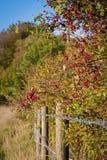 在铁丝网篱芭的红色莓果 免版税库存照片
